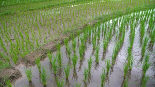 panning: cloudly rain reflect on fresh water in delighted rice terrace