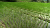 panning: delighted rice terraced field with fresh water
