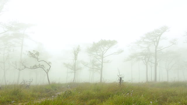 pannen: dichte Mist over dennenbos