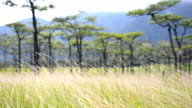 panning : dry grass behind Pine tree forest