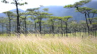 panning : dry grass is behind of Pine tree forest  in Phu Soi Dao National Park
