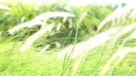 HD Panning: Flower of grass