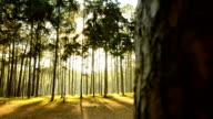 panning: fog and sunshine in pine Forest in Thailand