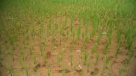 Schwenken von Draufsicht des Reis Stiele