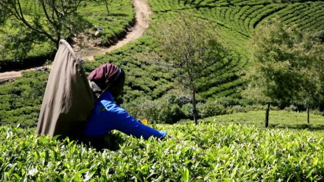 Panning left: Sri Lankan woman tea picker working
