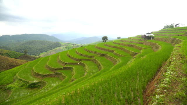 panning:  long and curve rice terrace with a small hut
