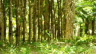 panning : mature rubber tree garden in south of Thailand