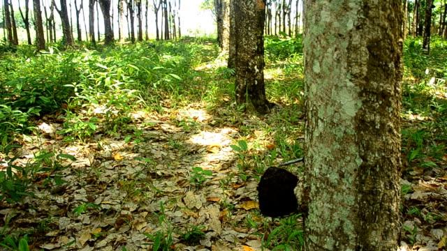 panning : mature rubber tree garden in Thailand