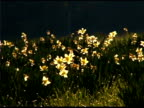 Panning of yellow daffodils in field