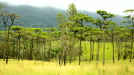panning : Pine forest in Phu Soi Dao National Park
