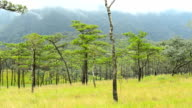 panning : Pine tree forest is on Mountains in Phu Soi Dao National Park