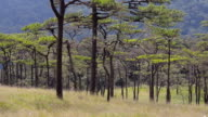 panning : Pine tree forest is on Mountains