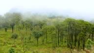panning : Pine tree forest under mist