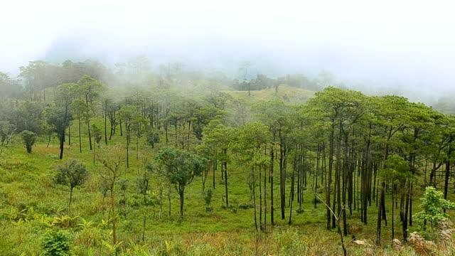 pannen: Pine tree bos onder mist