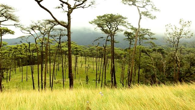 pannen: Pine tree forest
