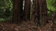 Panning Shot A Large Sequoia Tree Finally some good news about the effects of climate change It may have triggered a growth spurt in two of...