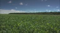 Panning shot across a field of soy plants.
