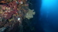 A panning shot along a coral reef wall with sea fans