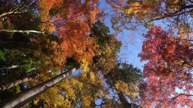 Panning shot: Autumn Red Leave background Korankei Forest park Nagoya