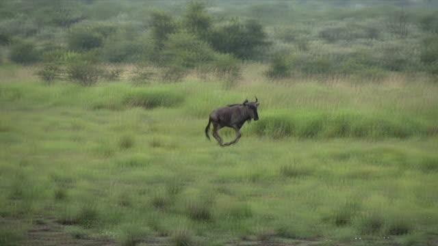 WS PAN Panning shot of Blue Wildebeest running across grassland / Pilanesberg National Park/ North West Province/ South Africa