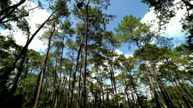 Panning shot: shot of looking up at trees,Pine forest