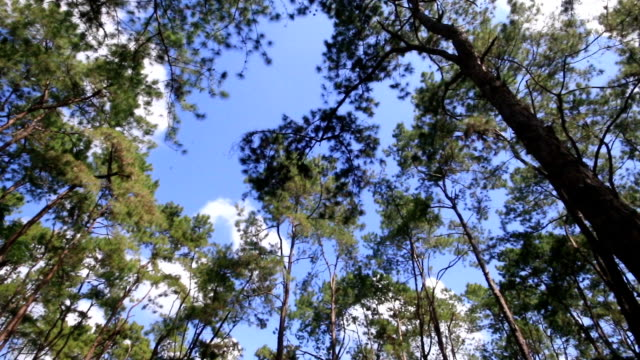 4K Panning shot: shot of looking up at trees,Pine forest