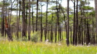 panning : small flowers are behind Pine tree forest