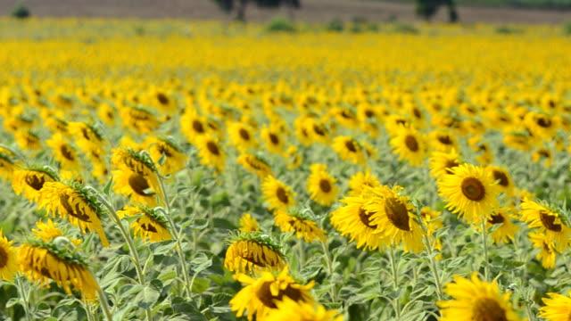 panning: sunflower garden in afternoon