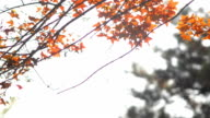 panning: tiny maple leaves on its branch