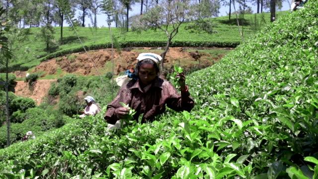 Panning to right: Sri Lankan woman tea picker