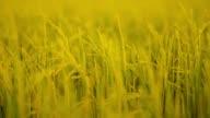panning : top body of rice field in urban scene