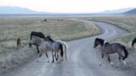 Panning view of wild horses crossing dirt road