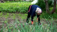 Panning view of woman weeding the plants with a hoe