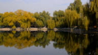 panning: willow tree and other tree reflecting on edge of lake