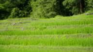 Schwenken: verschiedene Ebenen der terrassierten Reisfelder
