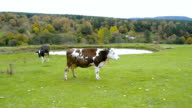 Panoramic view of a country lifestyle with cows feeding.