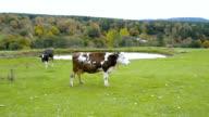Panorama-Blick auf ein Land Lebensstil mit Kühe füttern.