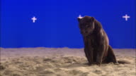 A panther in sand licks its muzzle in front of a blue screen.