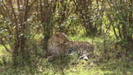 MS Panthera pardus laying on Grass for taking rest / National Park, Africa, Kenya