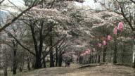 Paper lanterns hang from blooming Yoshino cherry trees near Mt. Kobo, Japan.