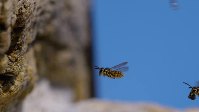 'Paper Wasp, polistes sp, Adult in Flight, Flying to Hole, Normandy, Slow Motion'