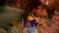 CU, Papua New Guinea, Yellow Mask Anglefish  by coral reef