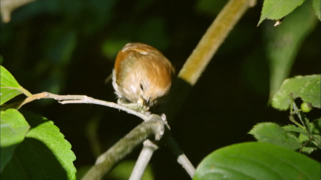 Paradoxornis webbianus catching caterpillar on the branch at Odaesan Mountain