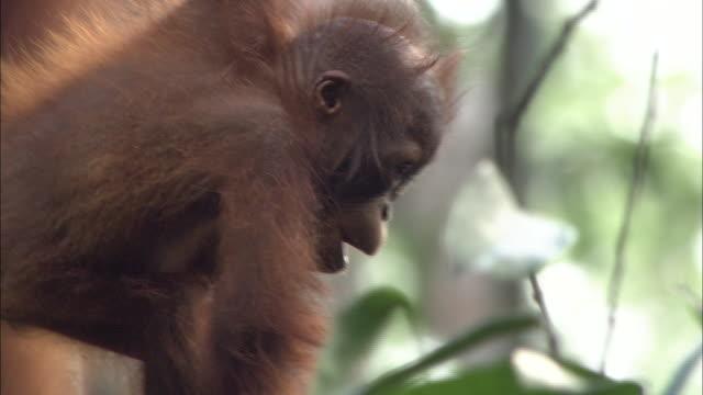 Parent and child of orangutan climb tree branch in Borneo, Malaysia.