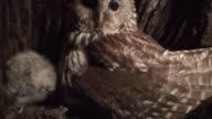 Parent Owl Nurturing