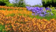 MS parkway at lake with fields of yellow daylily, Hemerocallis and blue iris / Losheim, Saarland, Germany