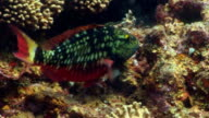 CU, Parrotfish (family Scaridae) moving around coral reef, Saint Lucia