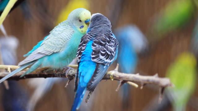 Parrots kissing.