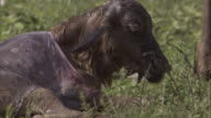 Part of the birth sac covers a newborn wildebeest calf in the Serengeti National Park. Available in HD.
