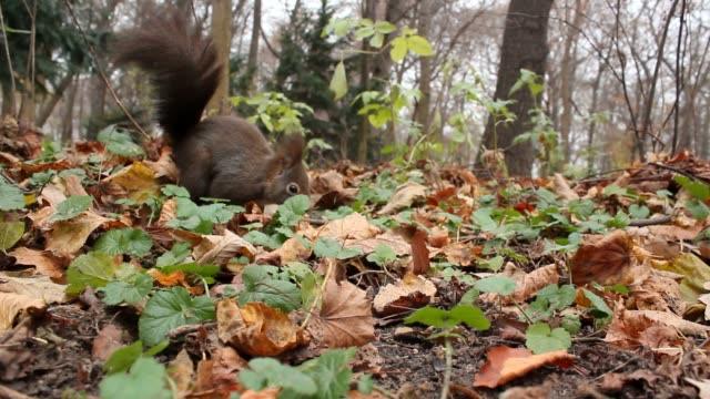 Passage of a squirrel with dry leaves in the woodland